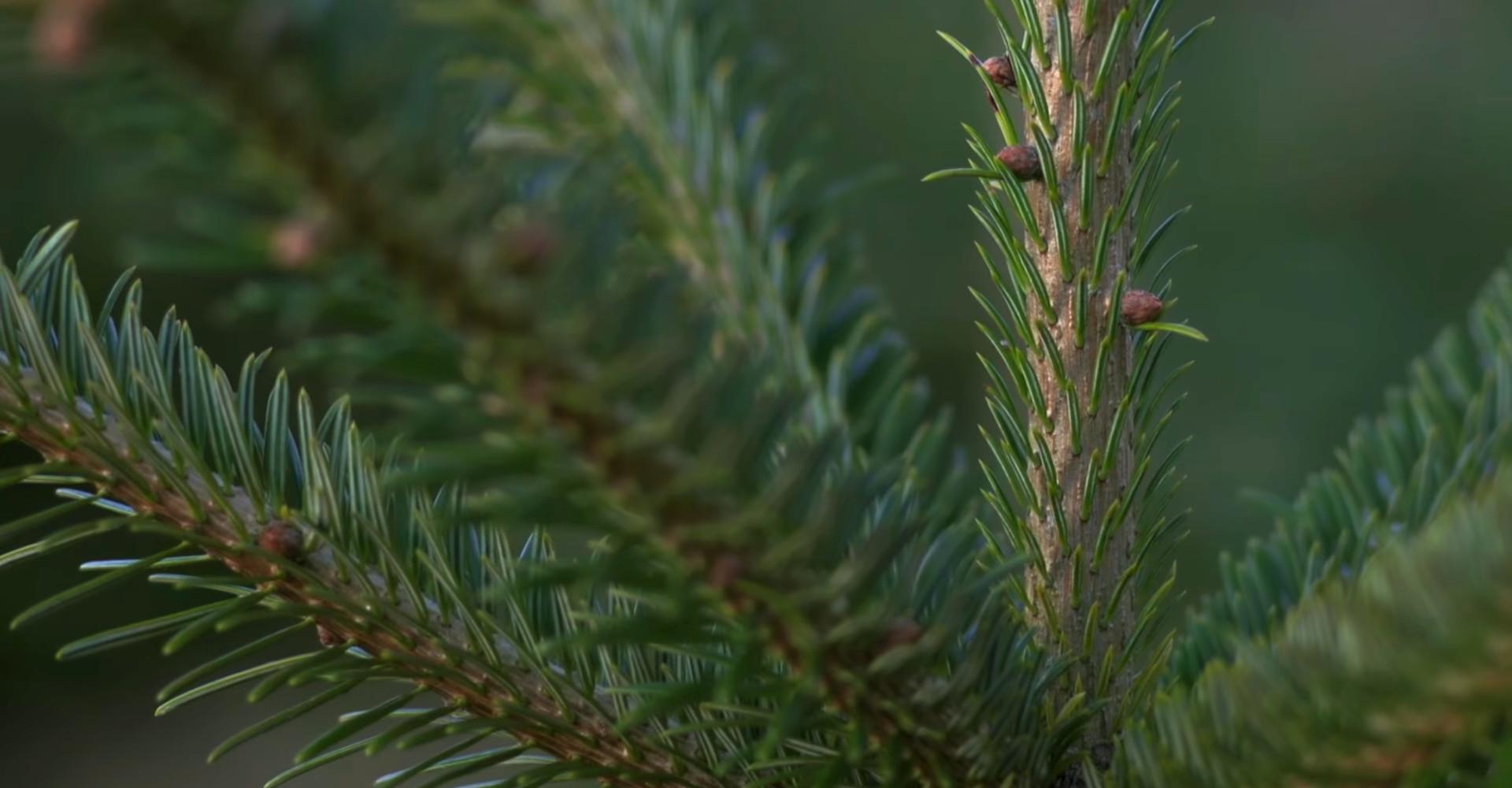 Kerstbomen Lisse De Mooiste Nordmann Excellent Spar Kerstbomen