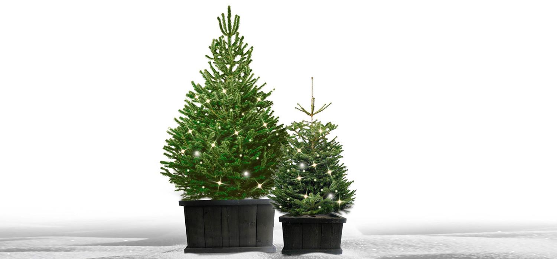 Nordmann kerstboom in kist met verlichting voor buiten bestellen in Lisse